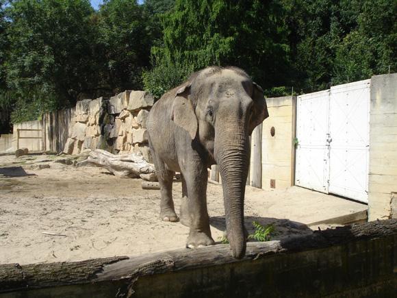 Слоняра подходит на расстояние вытянутого хобота
