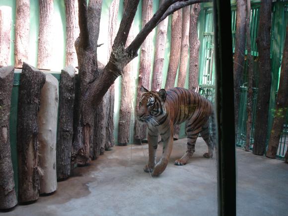 Между вами и тигром только стекло!..