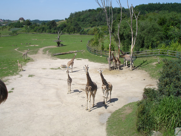 Жираф - не веблюд, не доплюнет!..